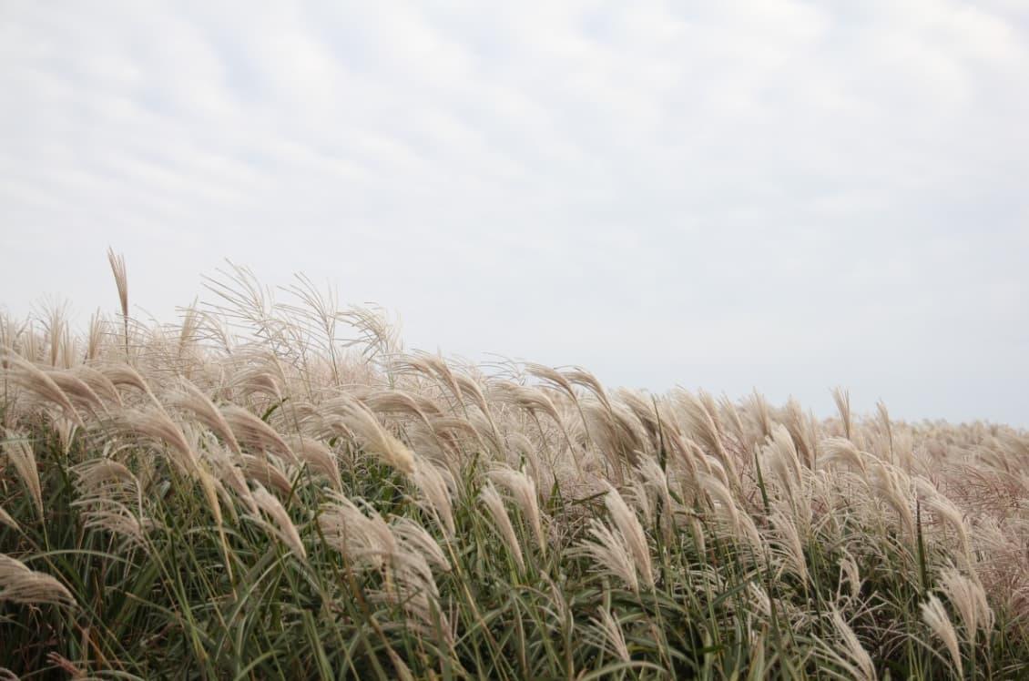 bông lau tại núi haneul