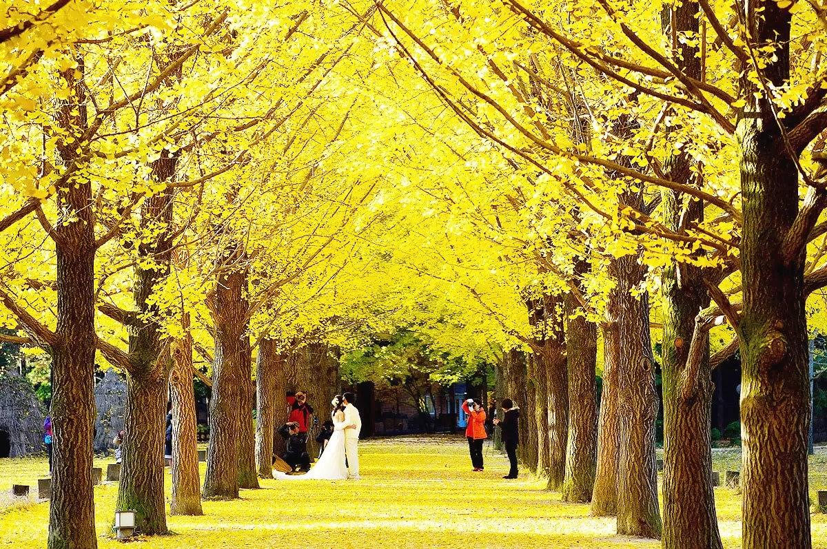 hàng cây hoa vàng ở đảo nami
