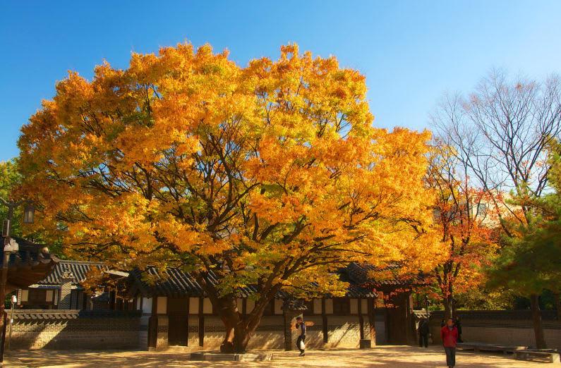 cây lá vàng tại dinh thự hoàng gia unhyeongung