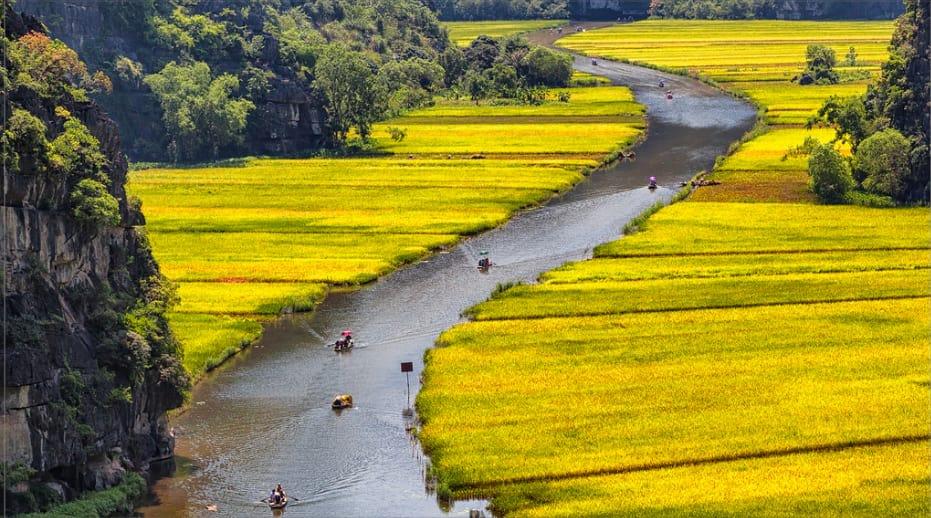 cánh đồng lúa vàng ở tam cốc