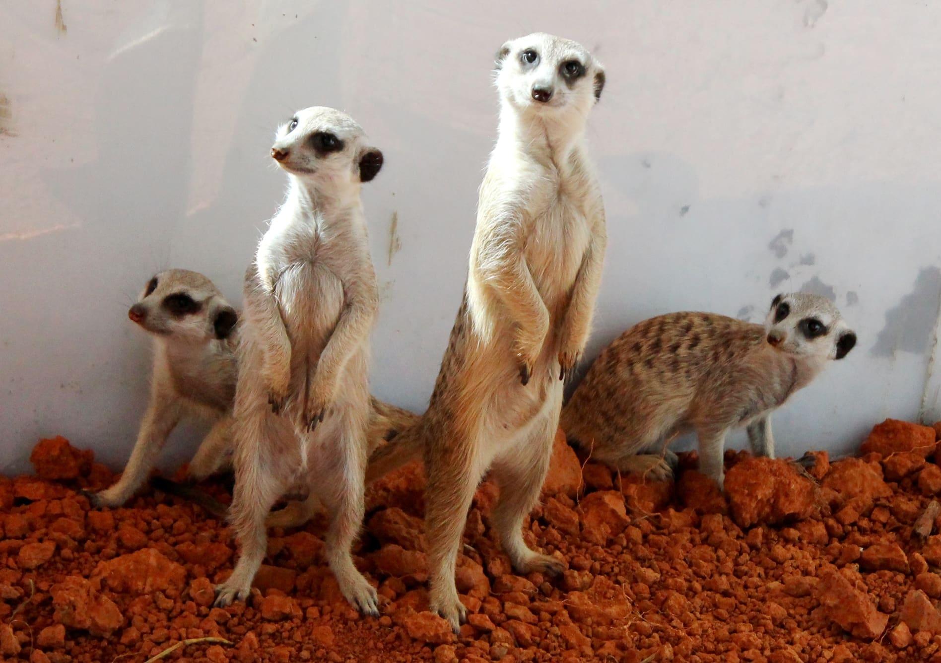 chồn đất tại khu african safari