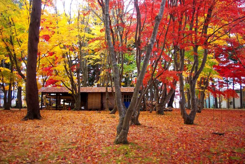 rừng lá phong tại công viên miharashi