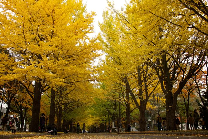 hai hàng cây lá vàng tại đại học hokkaido