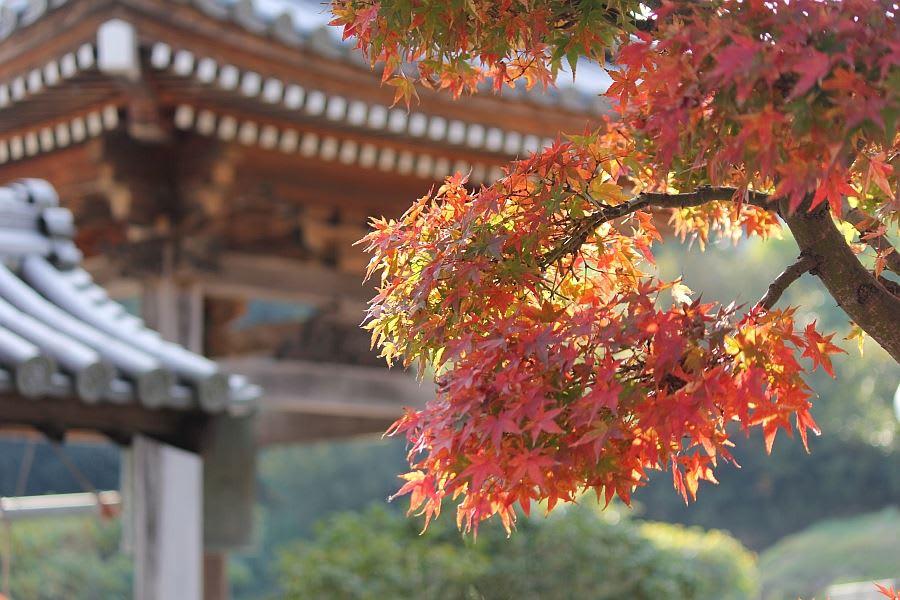 mùa thu lá đỏ tại shikoku