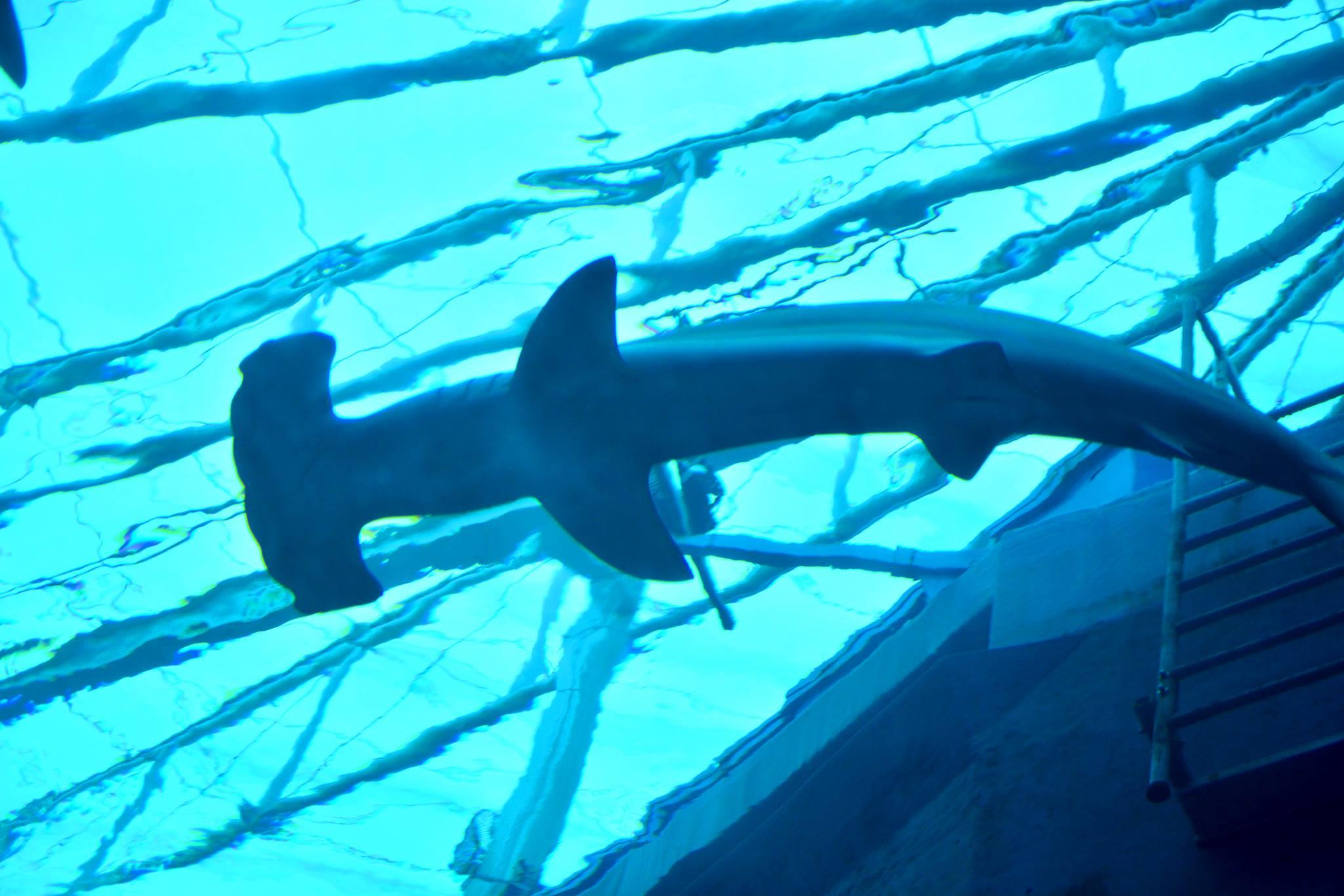 cá mập đầu búa tại sea aquarium