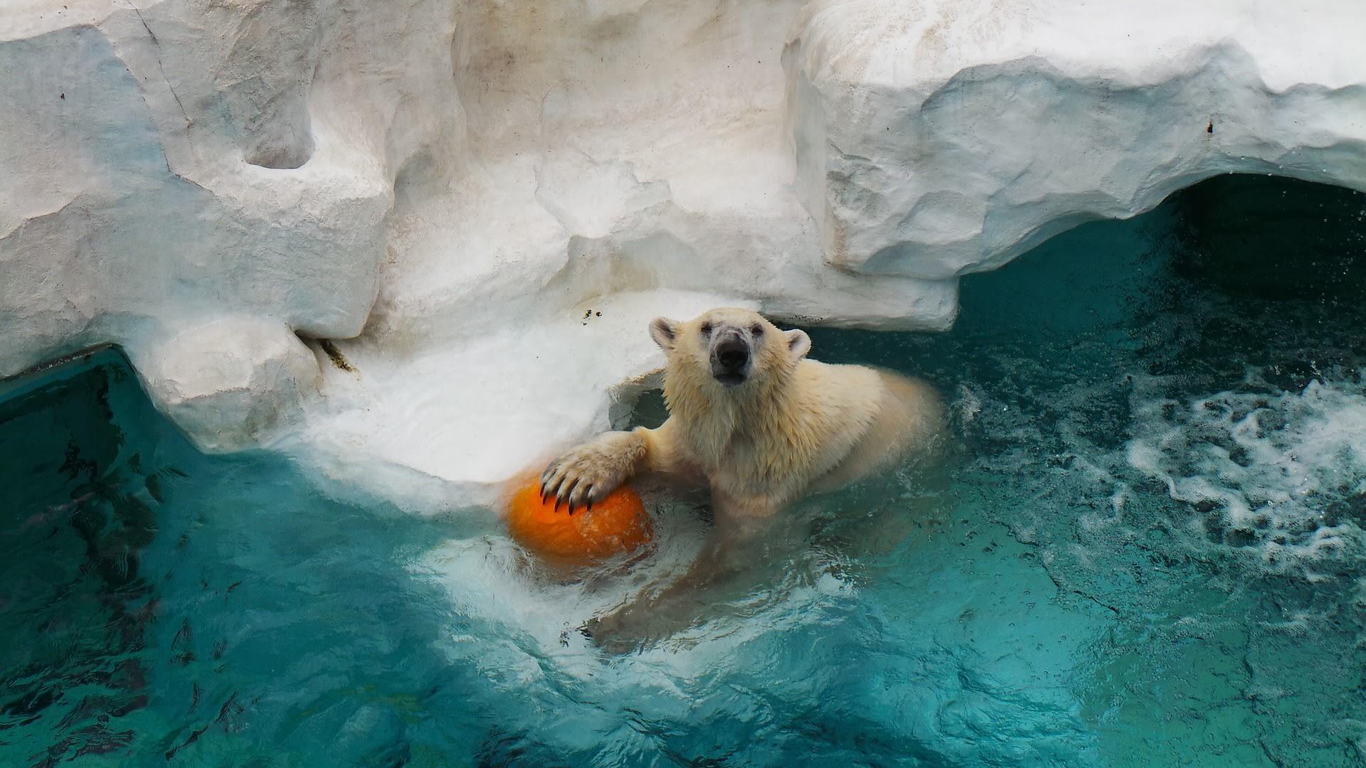 gấu bắc cực ở sở thú ueno
