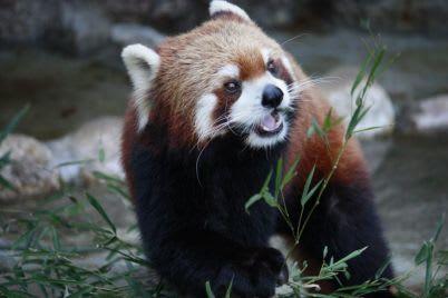 gấu trúc đỏ tại sở thú tự nhiên edogawa