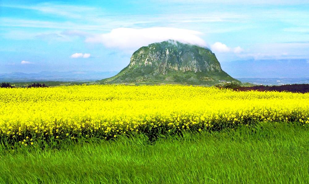 cánh đồng hoa và đỉnh núi hallasan