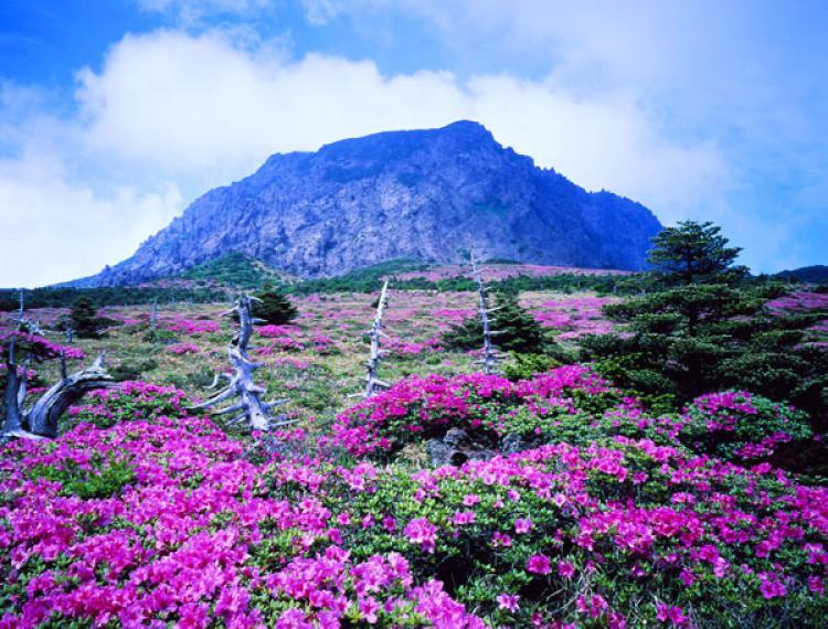 cánh đồng hoa tím trên đảo bò