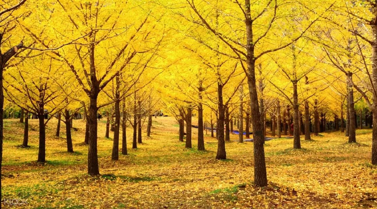 hàng cây lá vàng tại núi Seoraksan