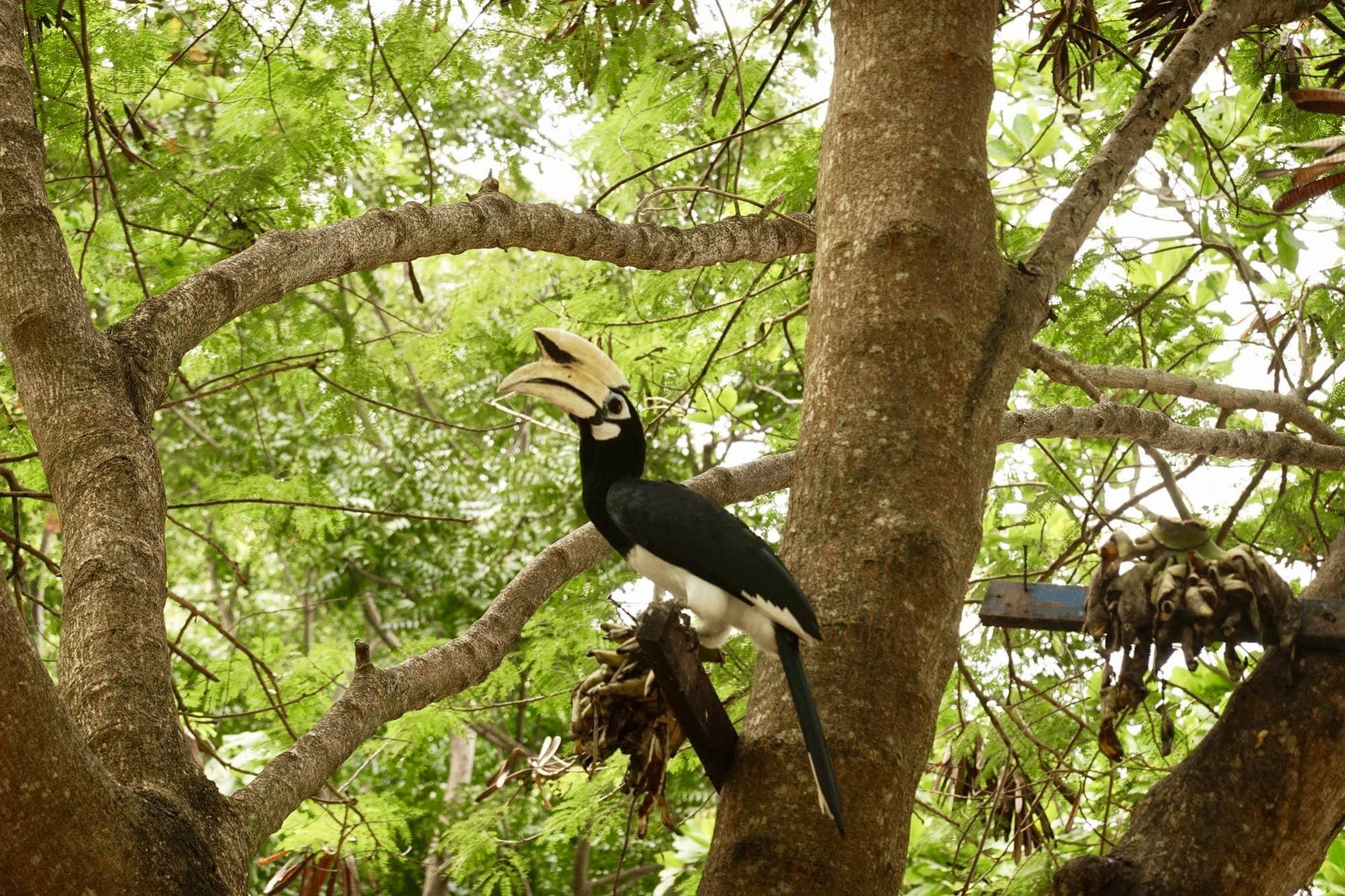 chim mỏ sừng tại phuket