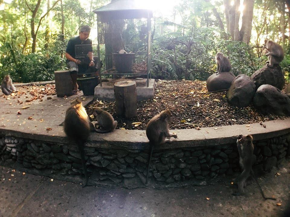 bầy khỉ tại monkey forest