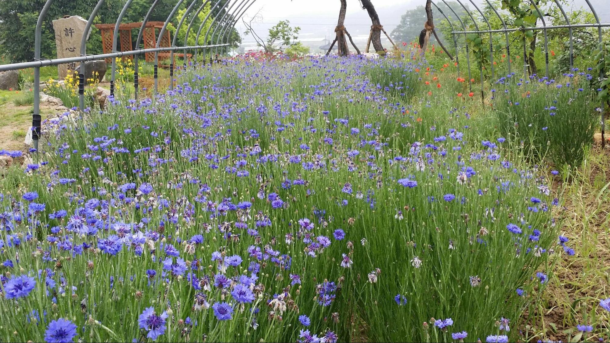 cánh đồng hoa tím