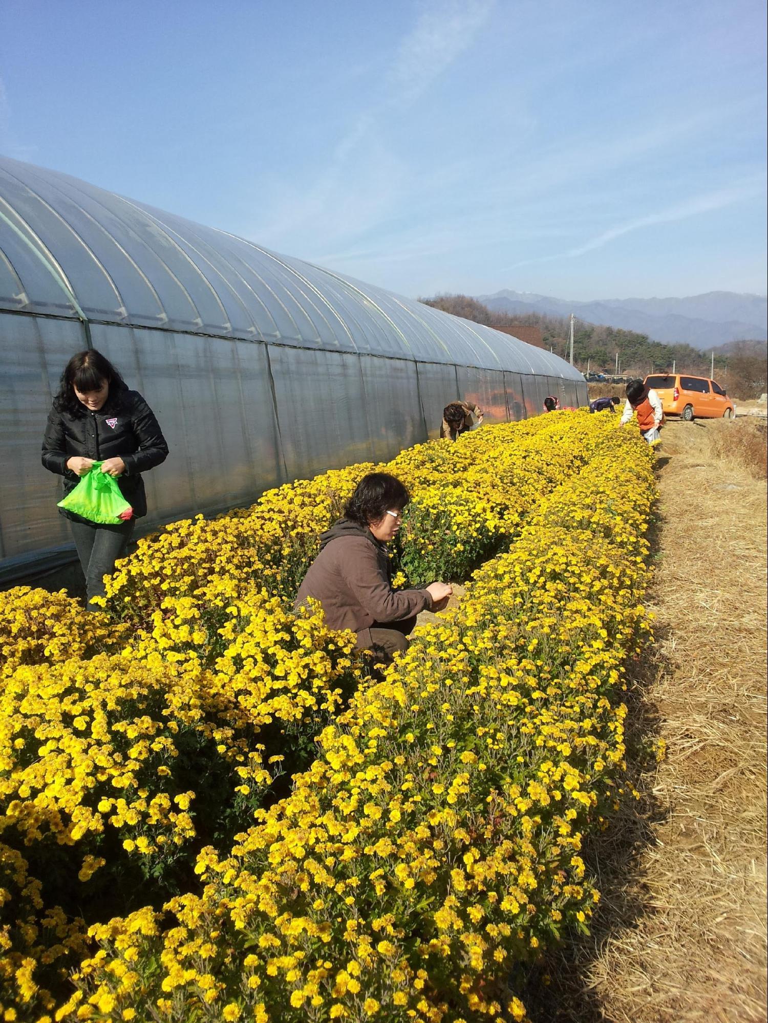 cánh đồng hoa vàng tại yeongju