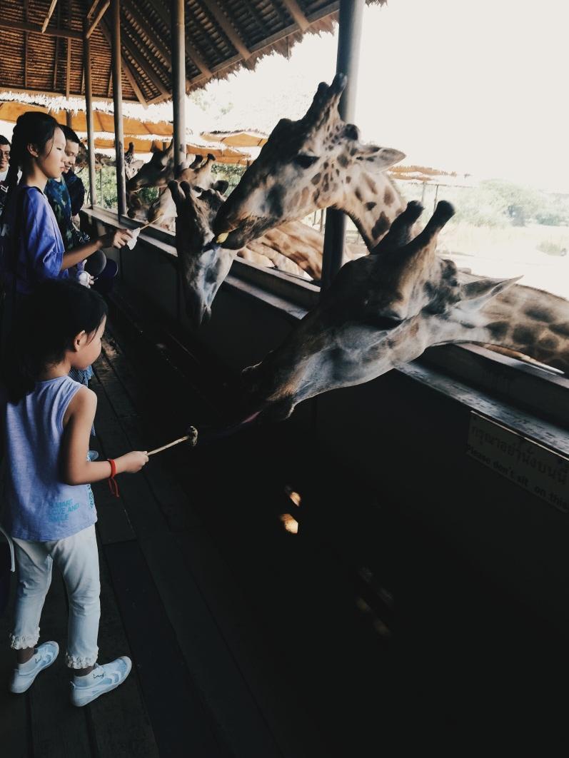 cho hươu cao cổ ăn ở bangkok safari world
