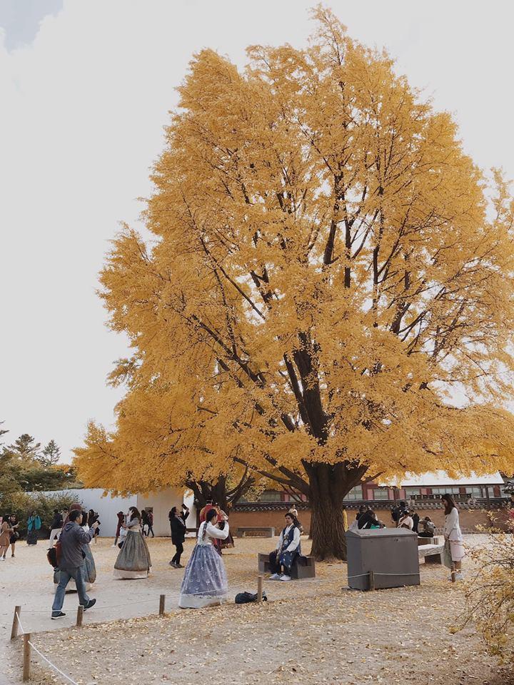lá vàng trong cung điện gyeongbokgung
