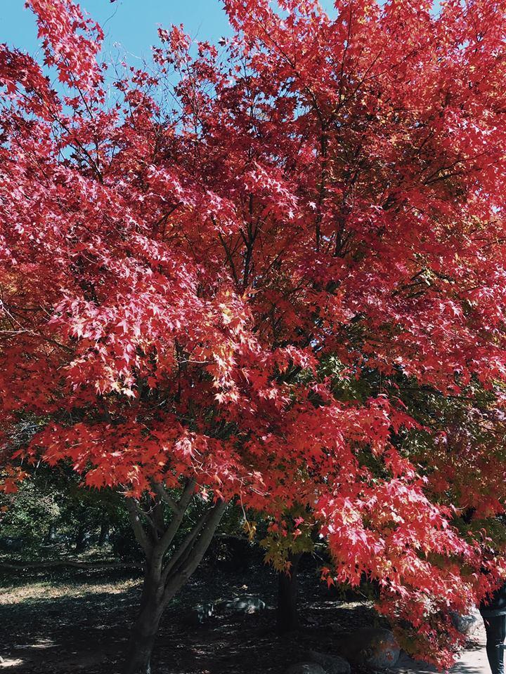 lá đỏ tại vườn quốc gia seoraksan