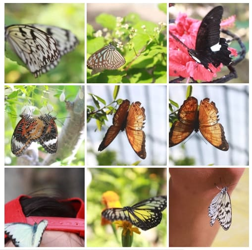 các loài bướm trong vườn bướm