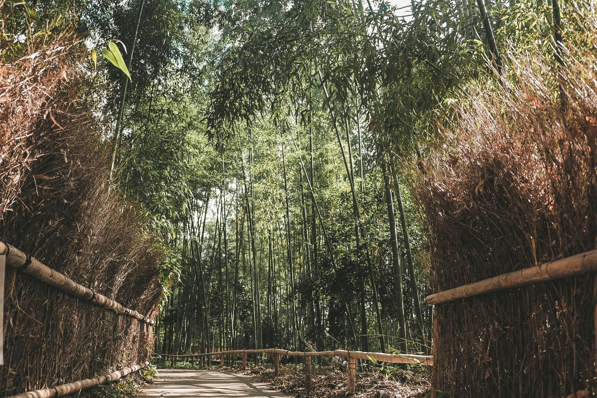 rừng trúc arashimaya
