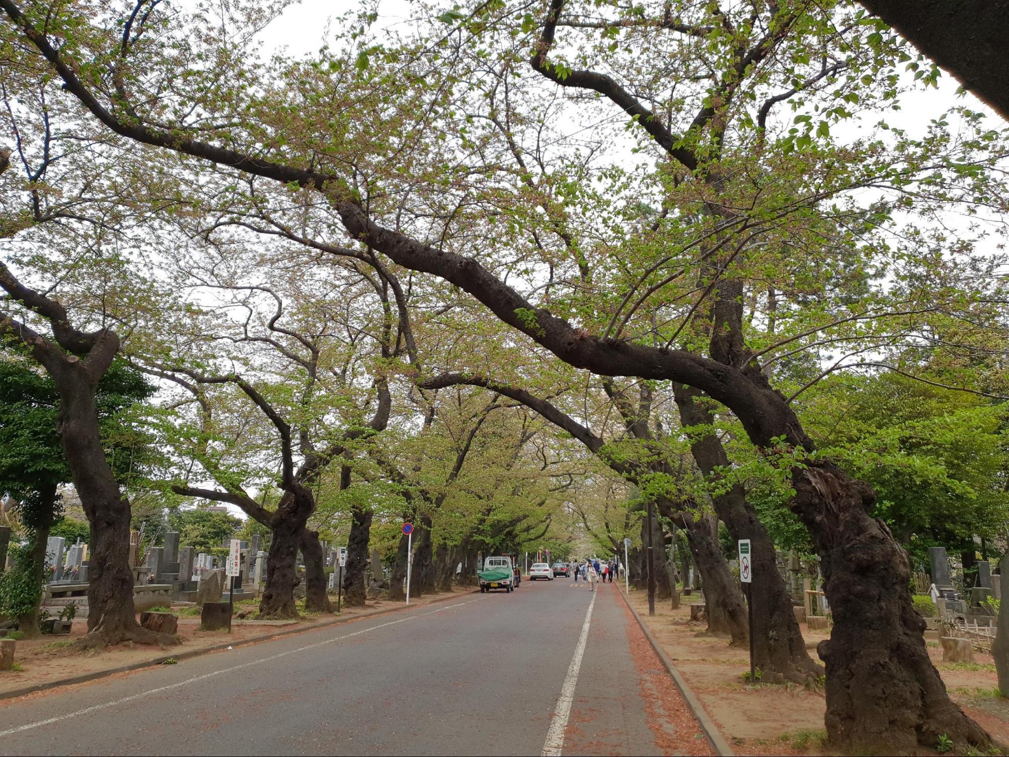 hàng cây anh đào ở yanaka