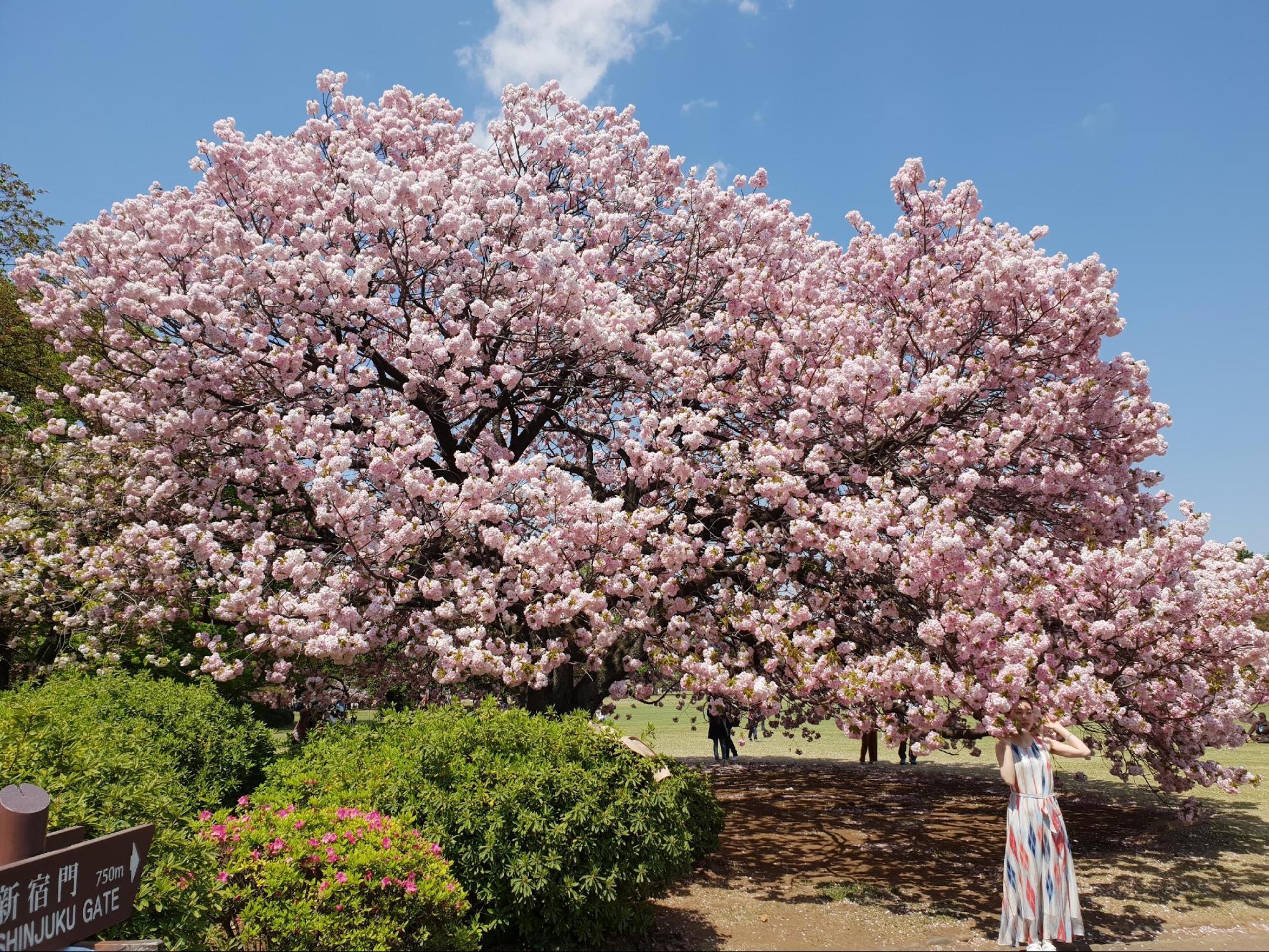 hoa anh đào tại công viên shinjuku