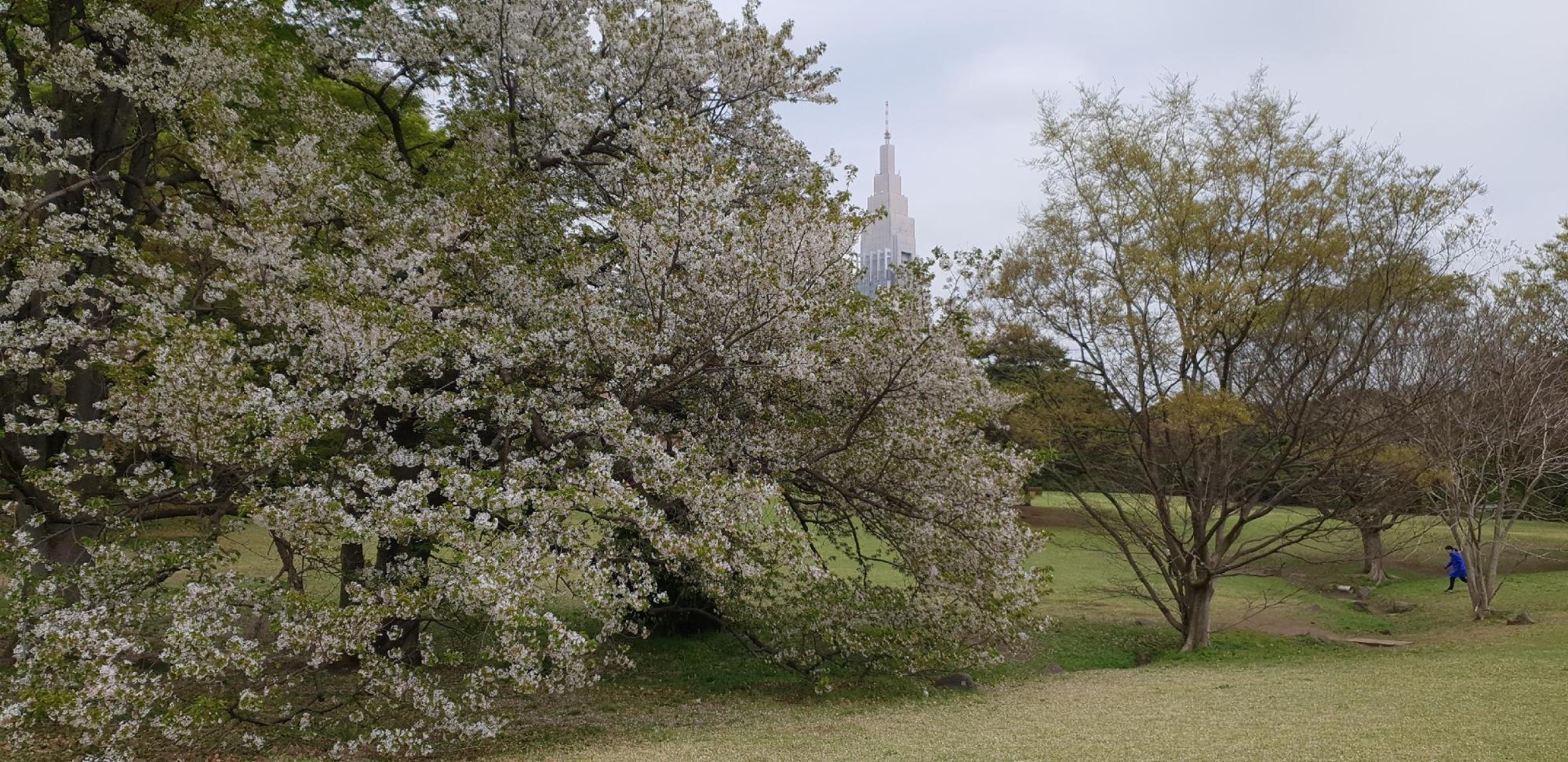 hoa anh đào trắng ở đền meiji