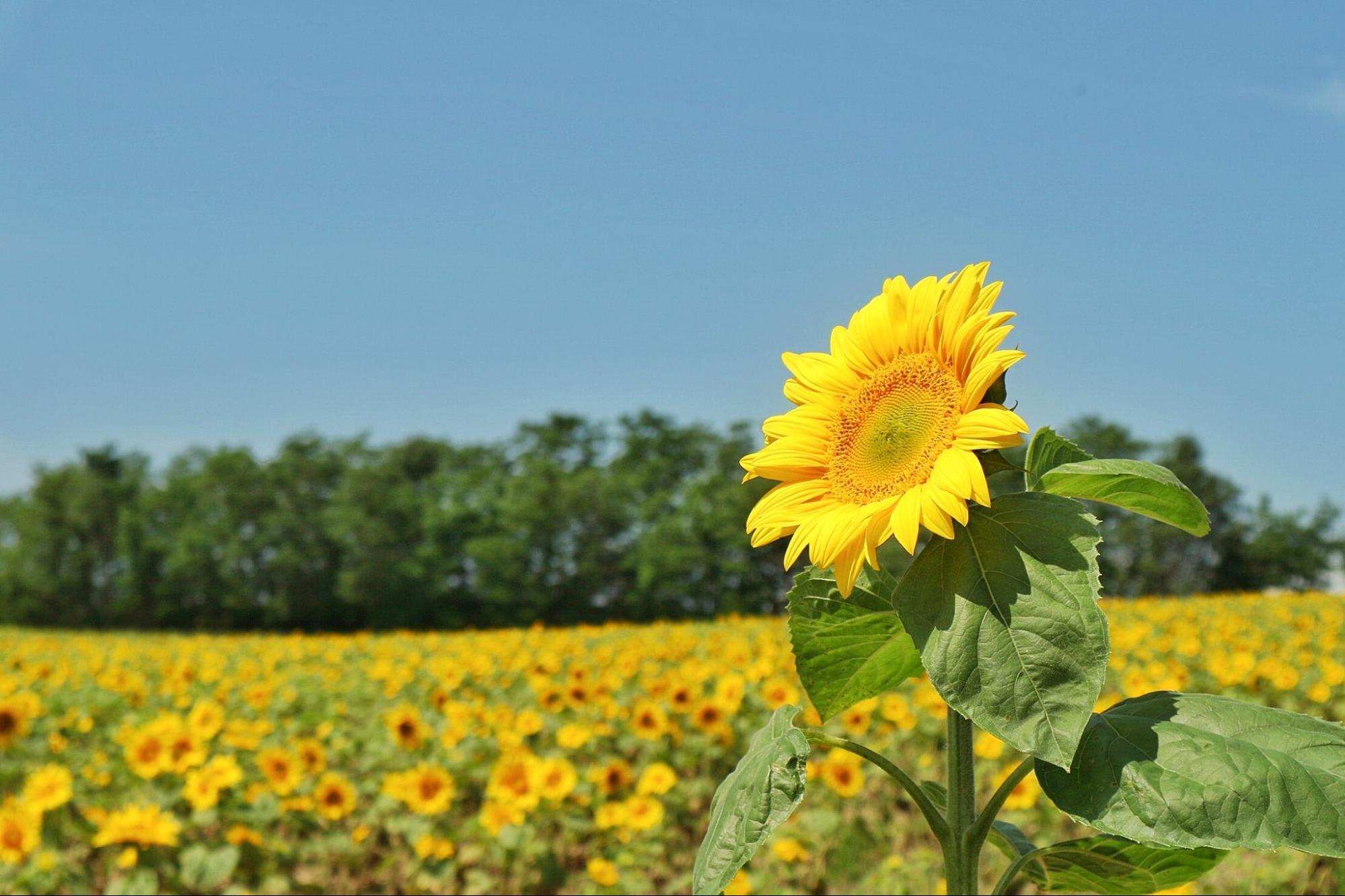 hoa hướng dương tại himawari no sato