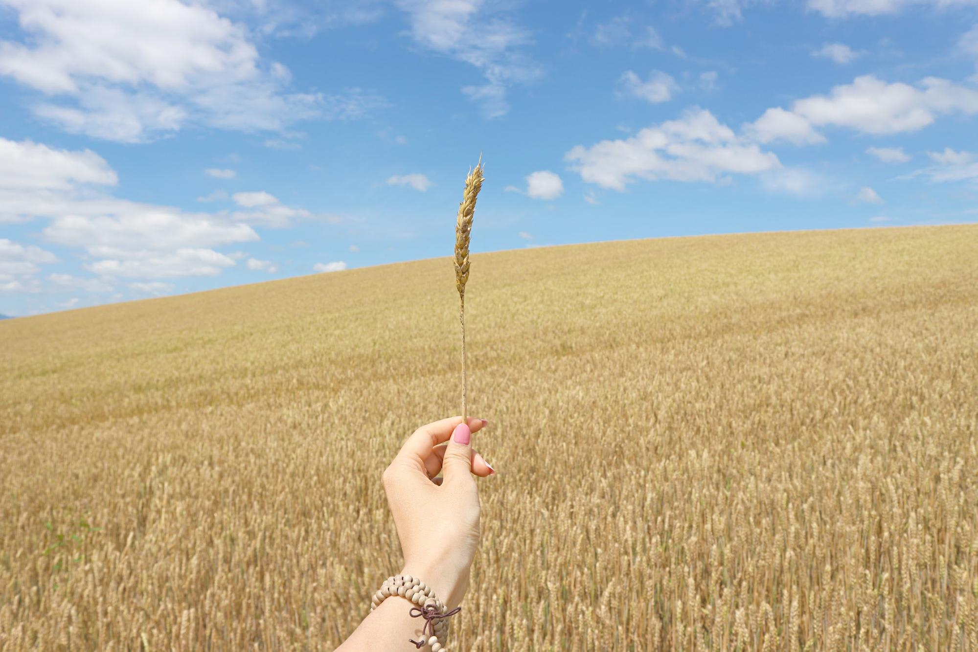 cánh đồng lúa mạch tại hokkaido