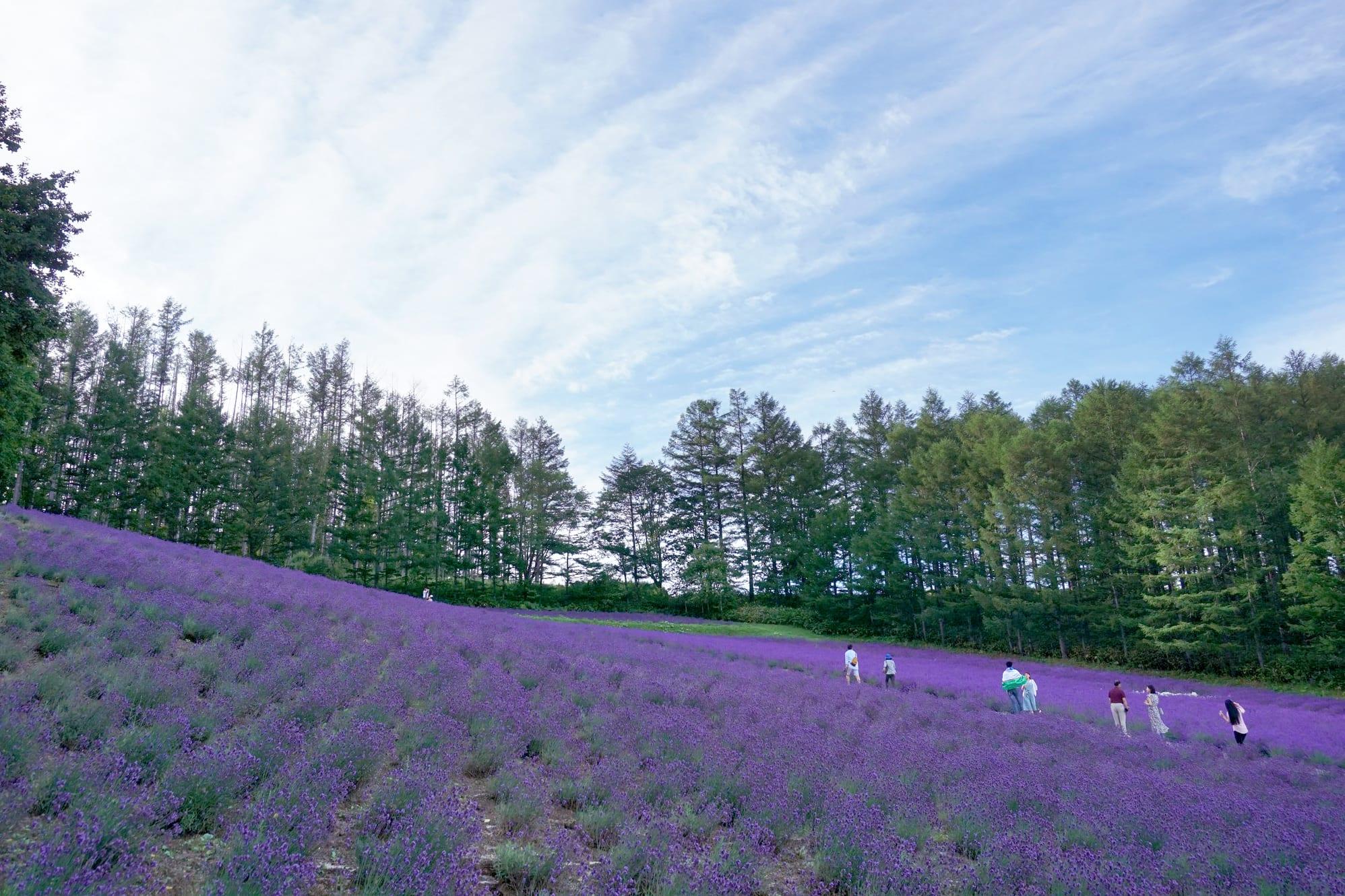 cánh đồng hoa oải hương tại hokkaido