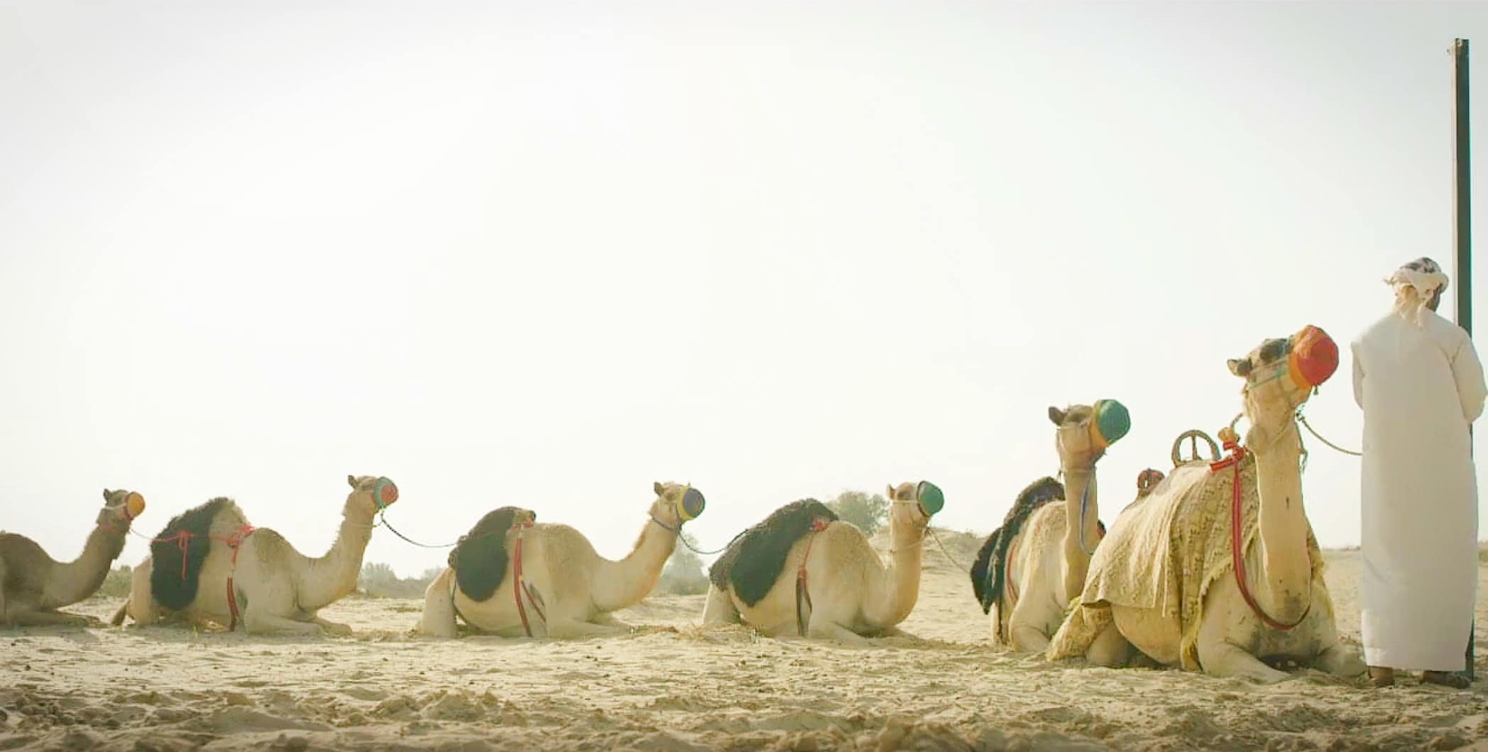 lạc đà ở dubai