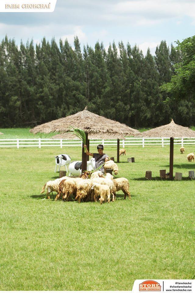 nuôi cừu ở farm chokchai