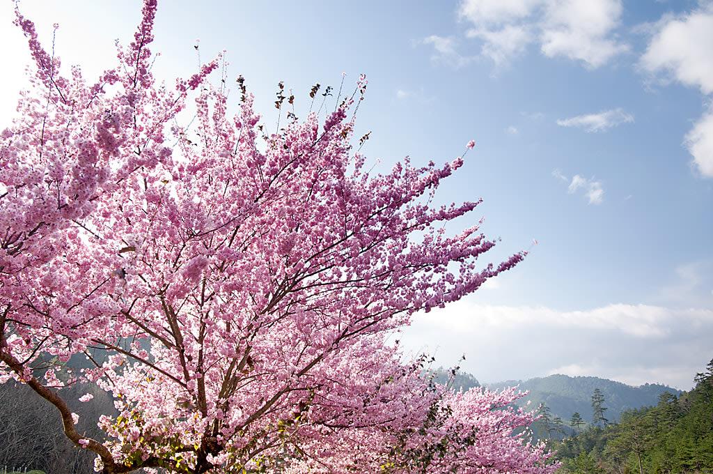 18 địa điểm ngắm hoa anh đào bạn không thể bỏ lỡ mùa xuân này 31