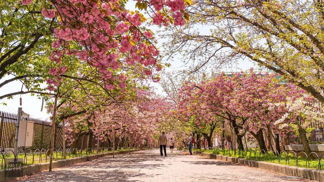 18 địa điểm ngắm hoa anh đào bạn không thể bỏ lỡ mùa xuân này 17