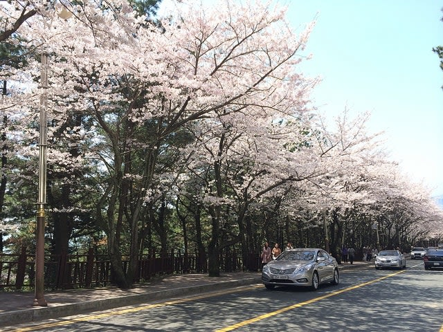 Giấc mơ anh đào: 11 điểm ngắm hoa đẹp nhất Hàn Quốc không thể bỏ lỡ 12