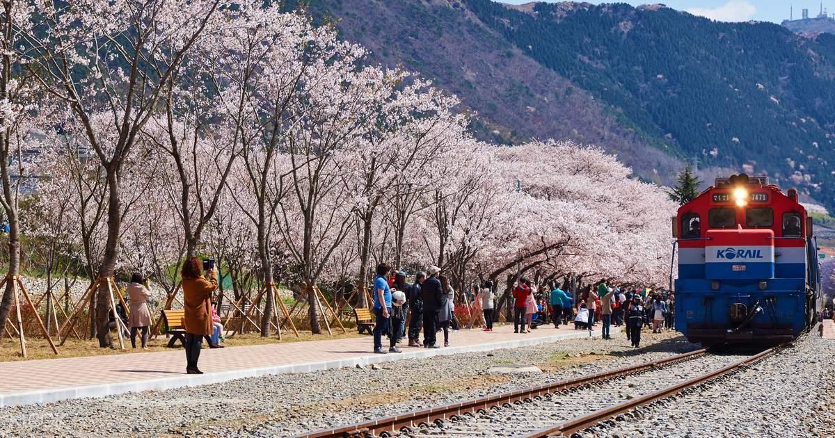 Giấc mơ anh đào: 11 điểm ngắm hoa đẹp nhất Hàn Quốc không thể bỏ lỡ 10