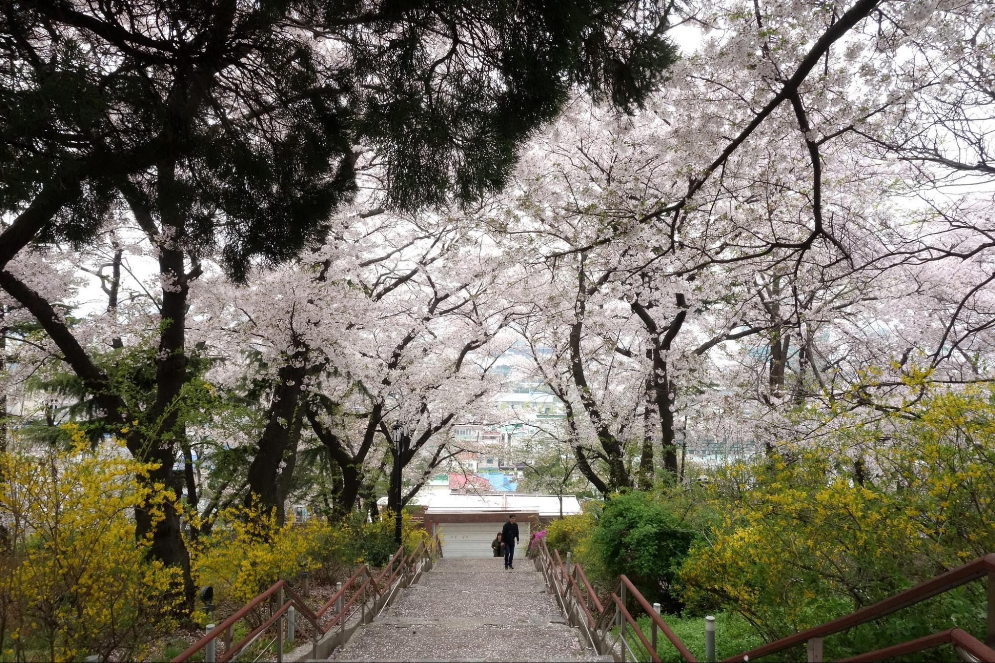 Giấc mơ anh đào: 11 điểm ngắm hoa đẹp nhất Hàn Quốc không thể bỏ lỡ 7