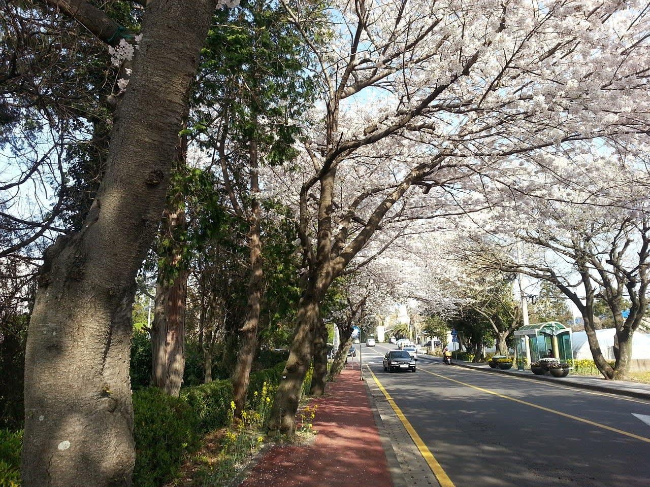 Giấc mơ anh đào: 11 điểm ngắm hoa đẹp nhất Hàn Quốc không thể bỏ lỡ 9