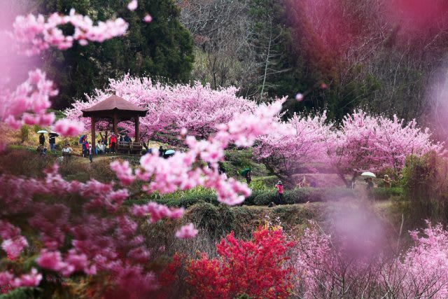 Giấc mơ anh đào: Ngập tràn sắc hồng tại Đài Loan từ tháng 1 đến tháng 4! 2