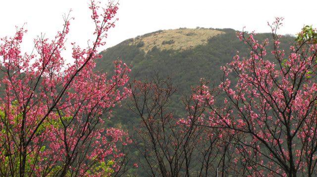 Giấc mơ anh đào: Ngập tràn sắc hồng tại Đài Loan từ tháng 1 đến tháng 4! 3