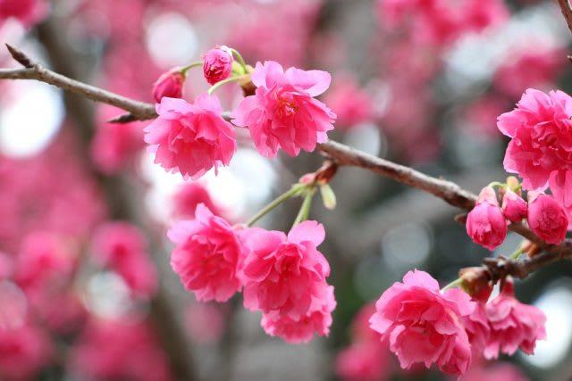 Giấc mơ anh đào: Ngập tràn sắc hồng tại Đài Loan từ tháng 1 đến tháng 4! 8