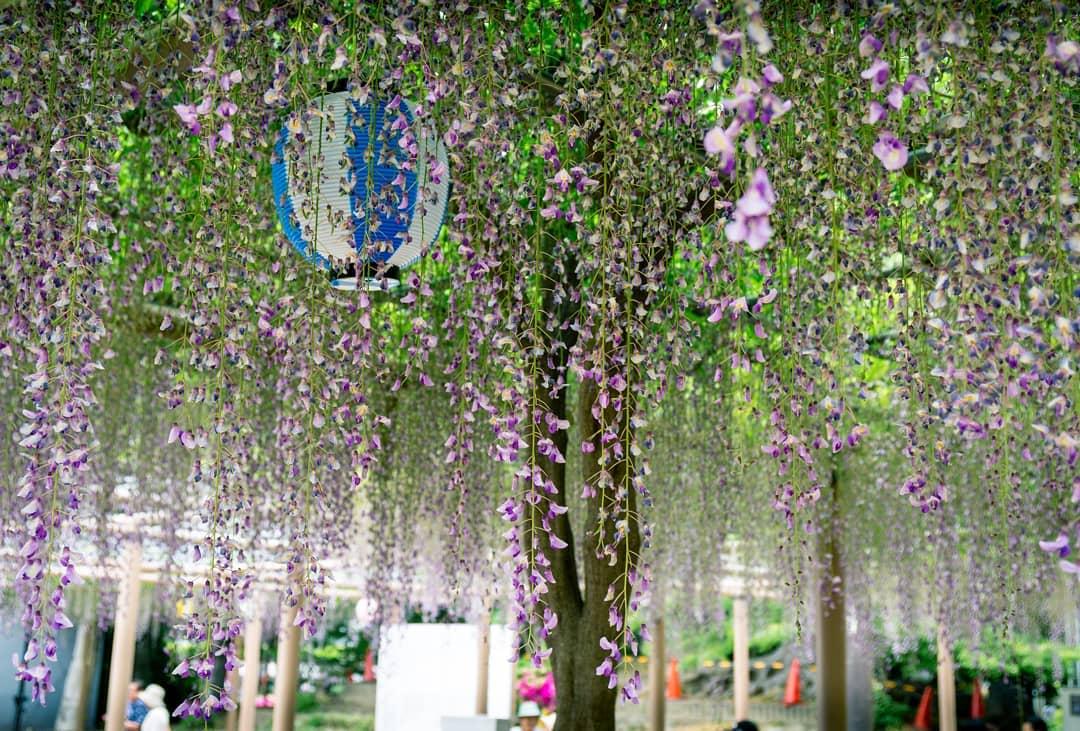 """Bắt trọn mùa hoa Tử Đằng đẹp """"rụng tim"""" ở Nhật Bản trong tháng 04 & 05 10"""