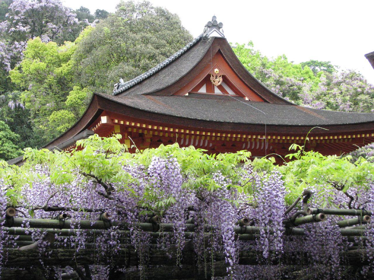 """Bắt trọn mùa hoa Tử Đằng đẹp """"rụng tim"""" ở Nhật Bản trong tháng 04 & 05 14"""