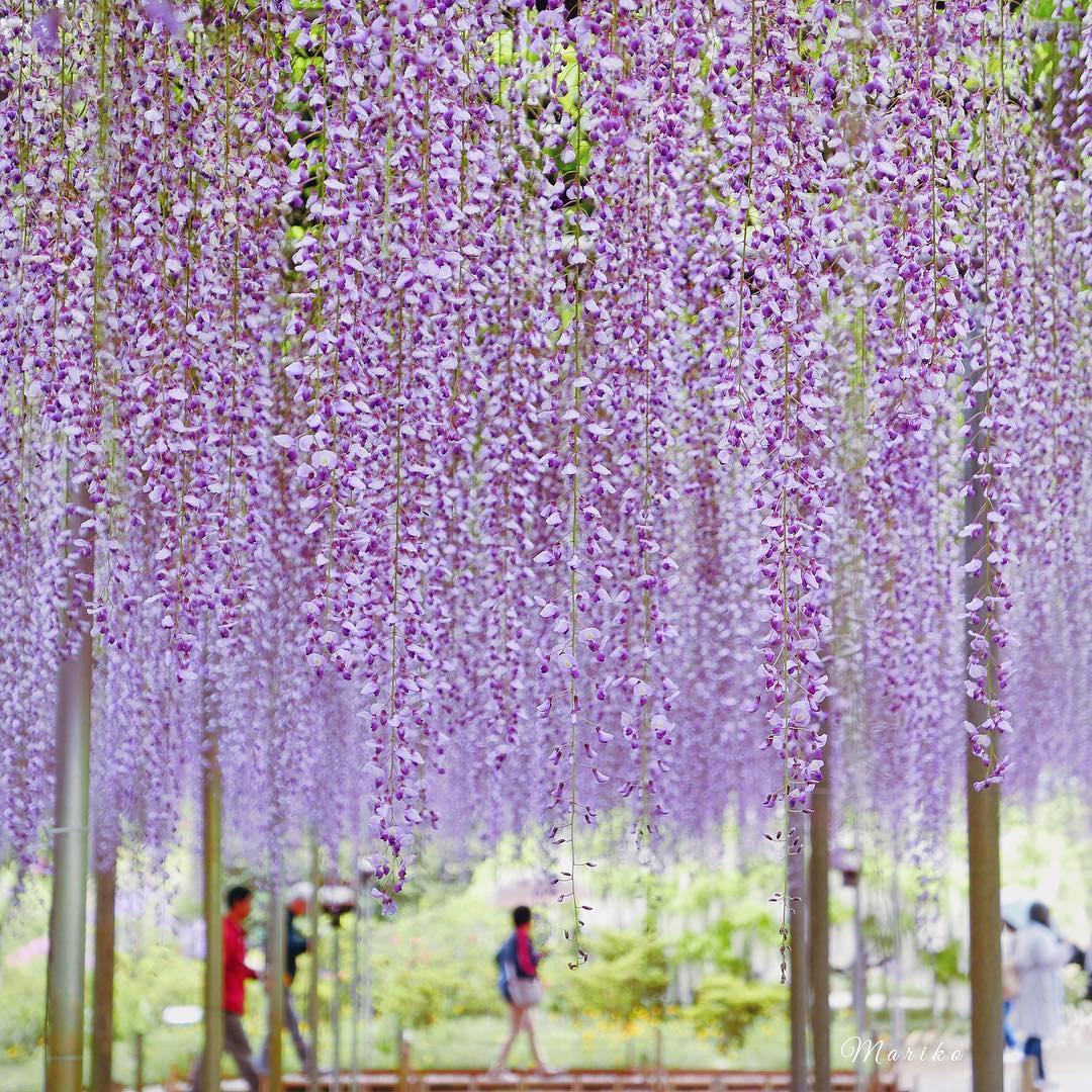 """Bắt trọn mùa hoa Tử Đằng đẹp """"rụng tim"""" ở Nhật Bản trong tháng 04 & 05 4"""