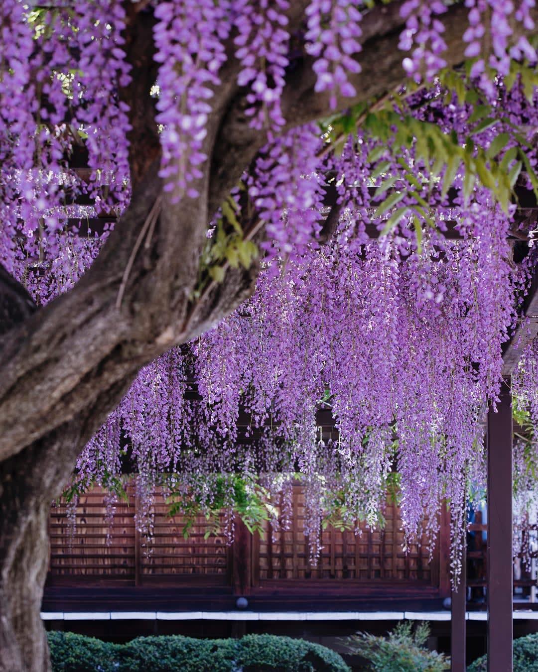 """Bắt trọn mùa hoa Tử Đằng đẹp """"rụng tim"""" ở Nhật Bản trong tháng 04 & 05 13"""