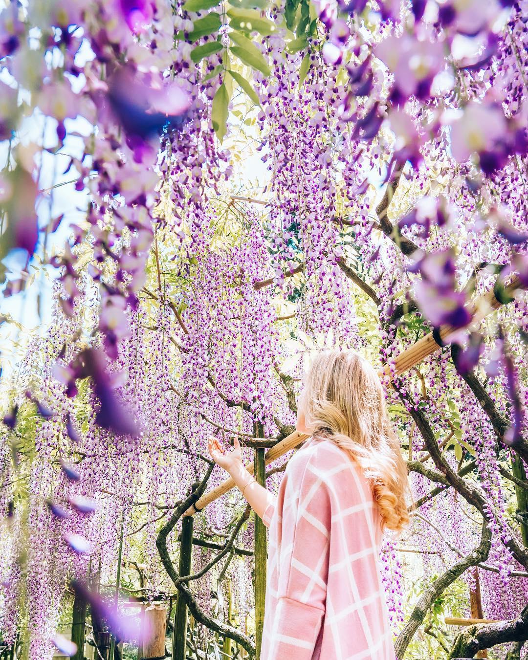 """Bắt trọn mùa hoa Tử Đằng đẹp """"rụng tim"""" ở Nhật Bản trong tháng 04 & 05 16"""
