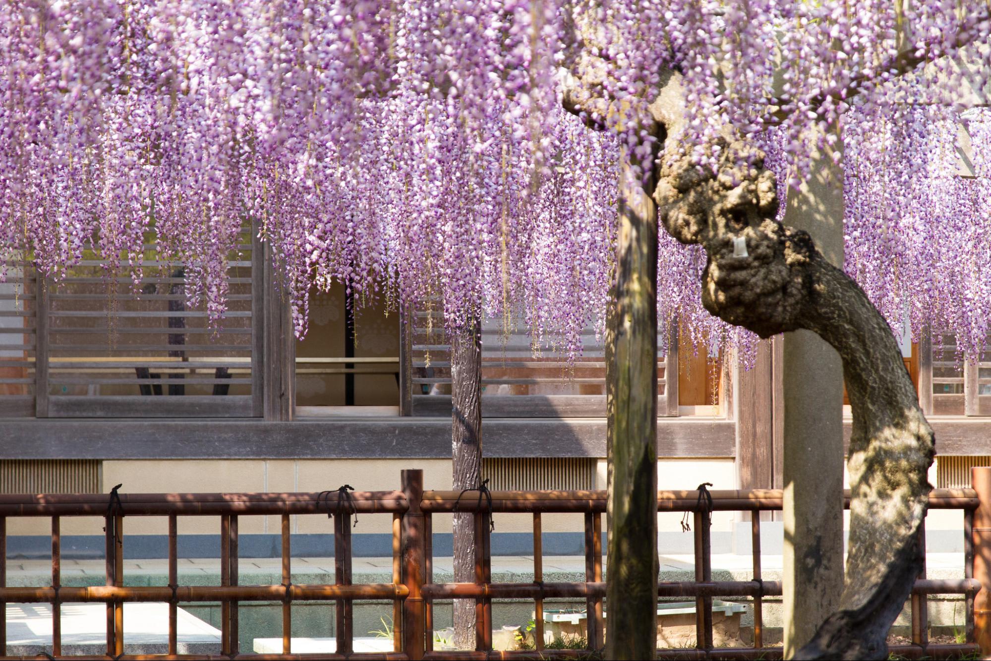 """Bắt trọn mùa hoa Tử Đằng đẹp """"rụng tim"""" ở Nhật Bản trong tháng 04 & 05 17"""