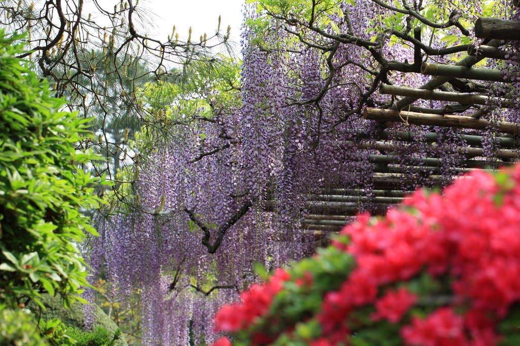 """Bắt trọn mùa hoa Tử Đằng đẹp """"rụng tim"""" ở Nhật Bản trong tháng 04 & 05 19"""