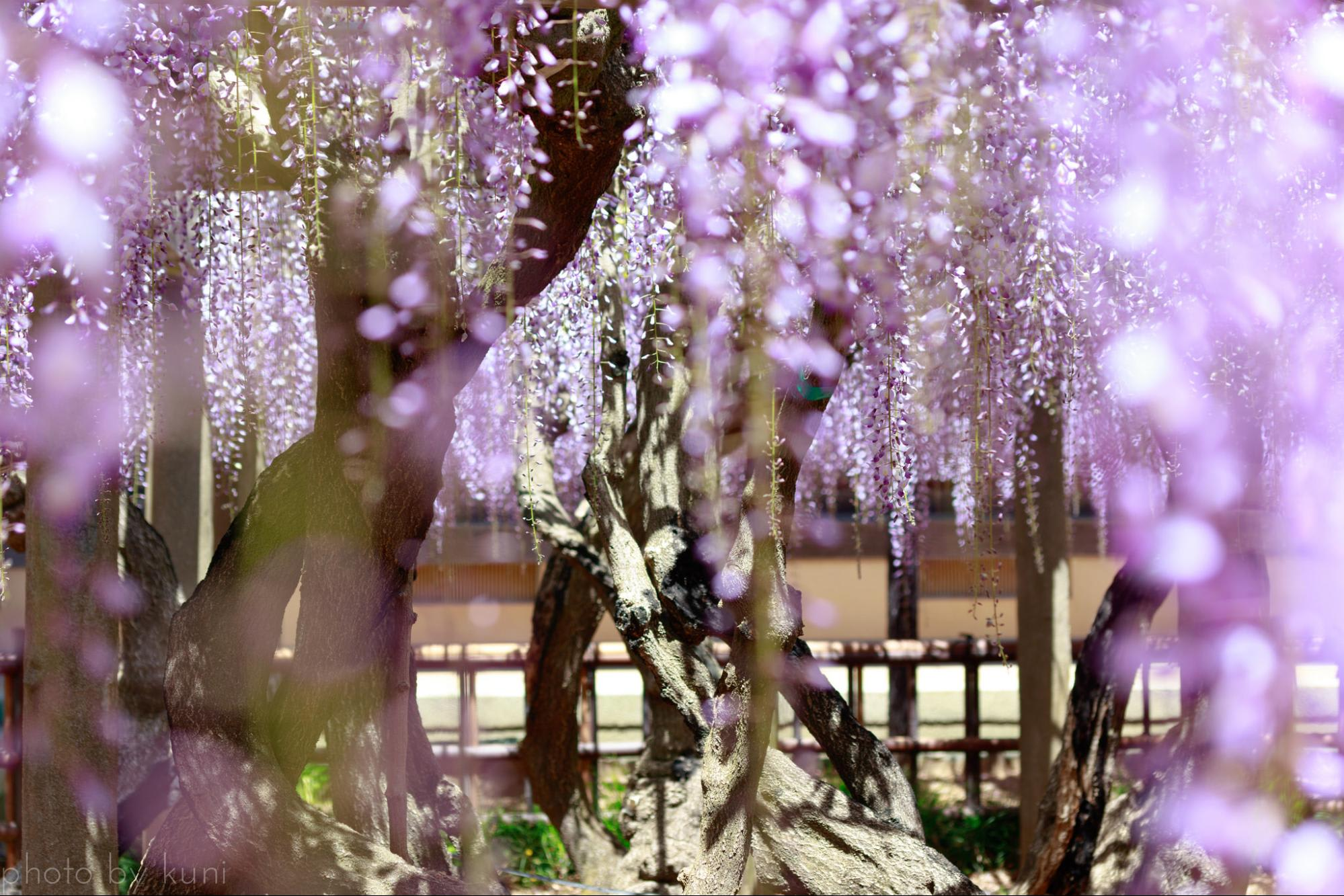 """Bắt trọn mùa hoa Tử Đằng đẹp """"rụng tim"""" ở Nhật Bản trong tháng 04 & 05 18"""