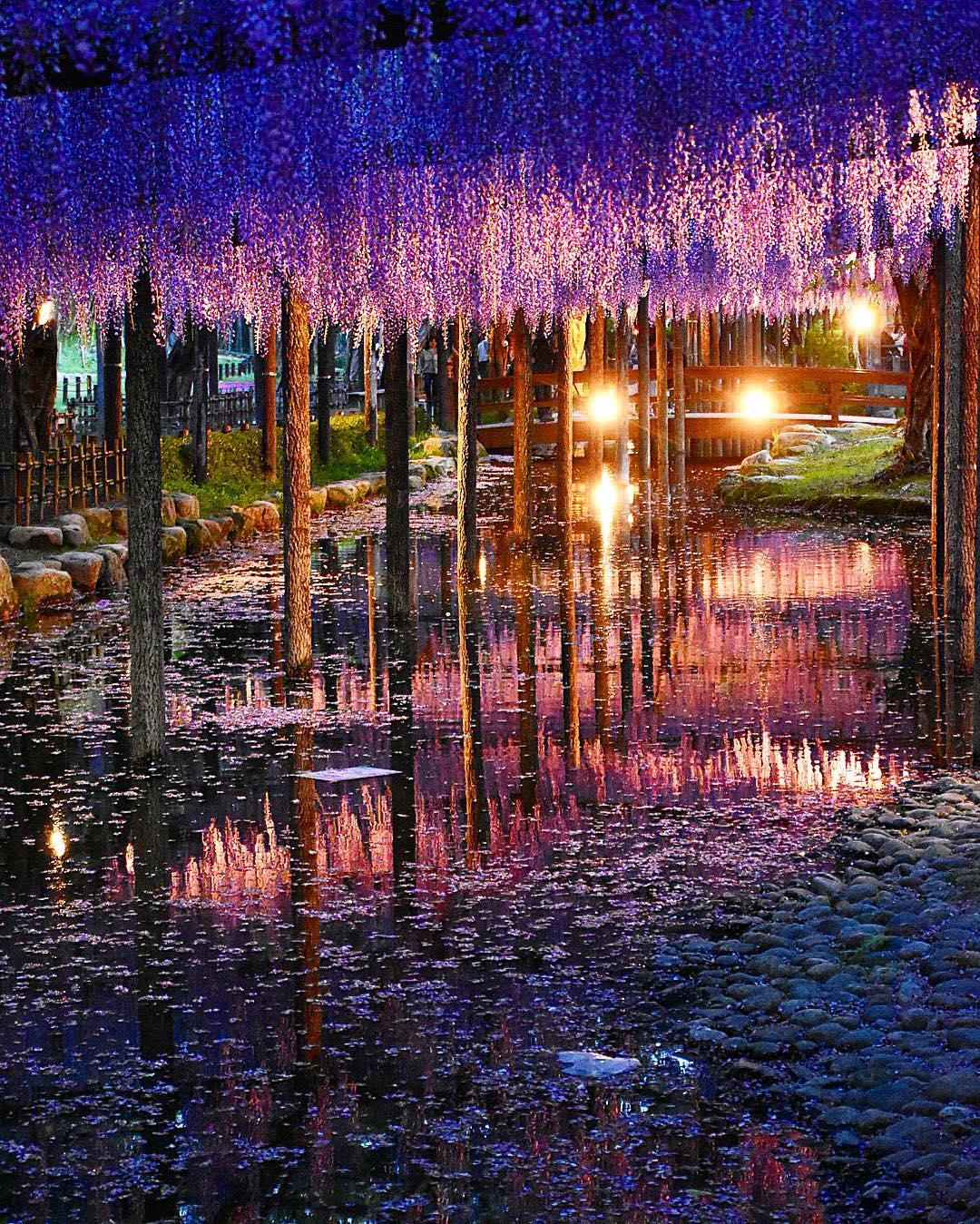 """Bắt trọn mùa hoa Tử Đằng đẹp """"rụng tim"""" ở Nhật Bản trong tháng 04 & 05 9"""