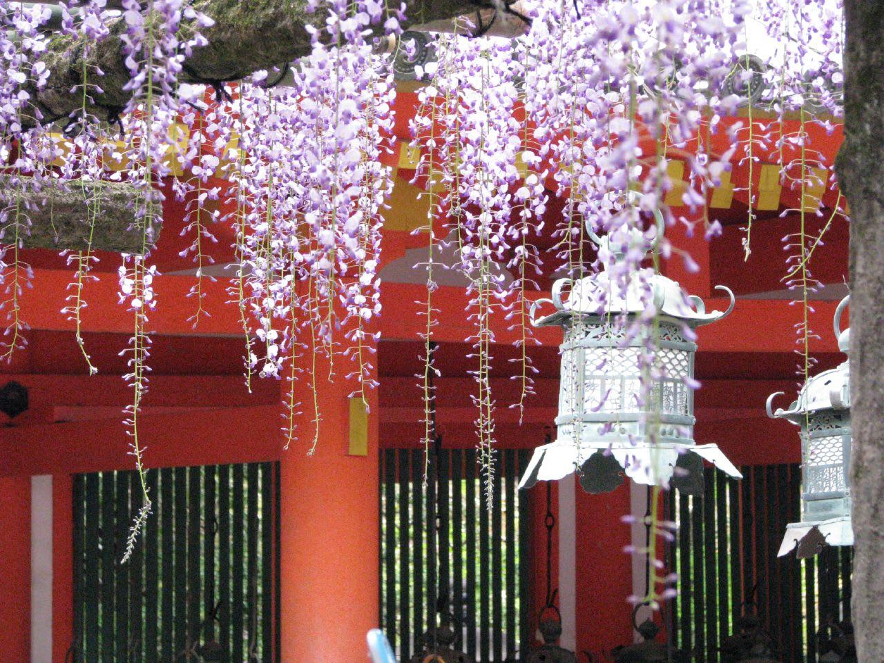 """Bắt trọn mùa hoa Tử Đằng đẹp """"rụng tim"""" ở Nhật Bản trong tháng 04 & 05 15"""
